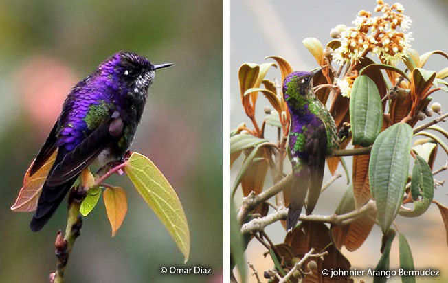 purple-backed_thornbill