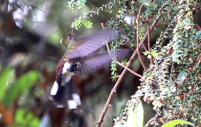 rainbow-bearded-thornbill