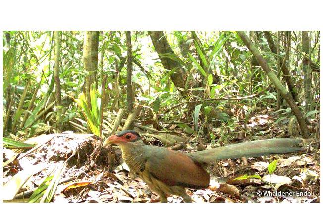 red-billed_ground-cuckoo