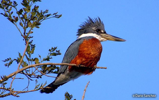 ringed_kingfisher