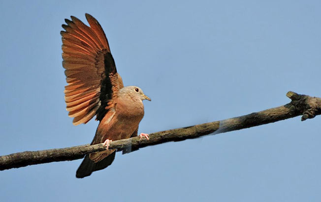 ruddy_ground-dove