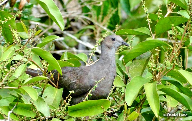 ruddy_pigeon