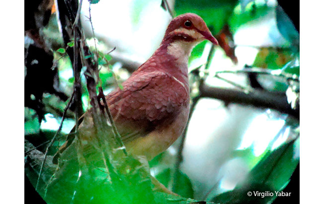 ruddy_quail-dove