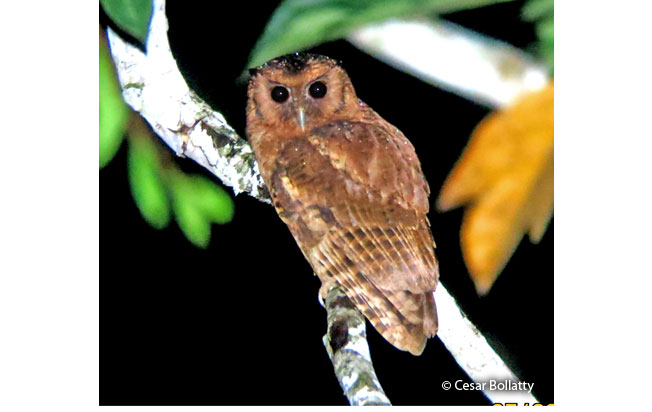 rufescent_screech-owl