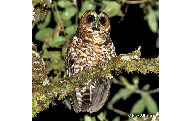 rufous-banded_owl