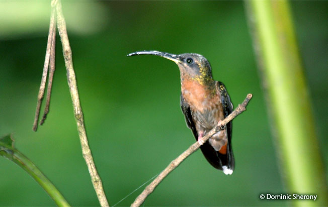 rufous-breasted_hermit