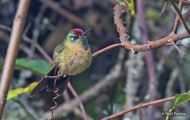 rufous-capped_thorntail