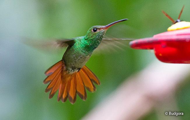rufous-tailed_hummingbird