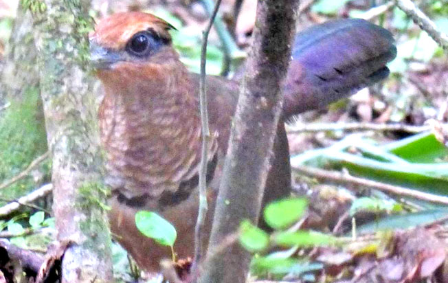ufous-vented_ground-cuckoo