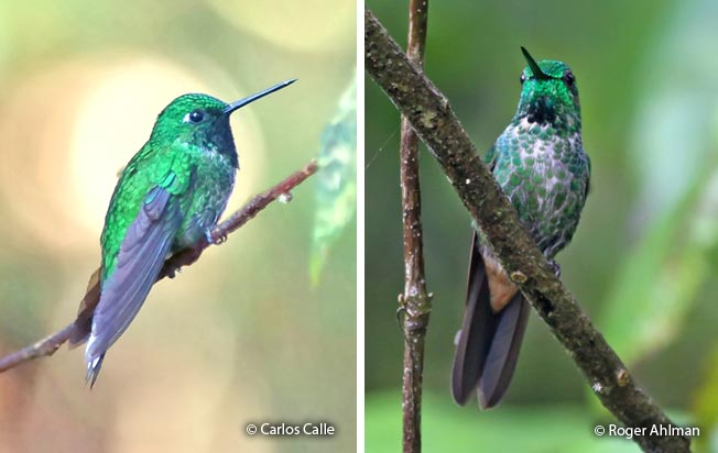 rufous-vented_whitetip