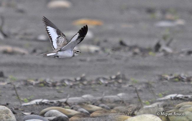sand-colored-nighthawk