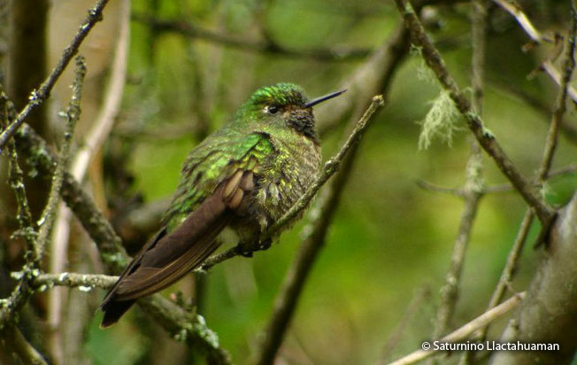 scaled-metaltail