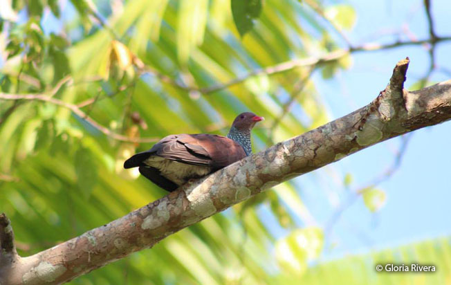 scaled-pigeon