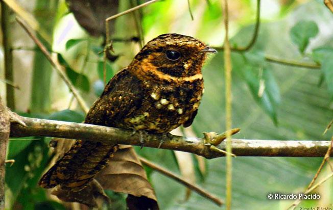 silky-tailed-nightjar
