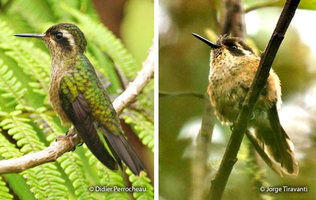 speckled_hummingbird