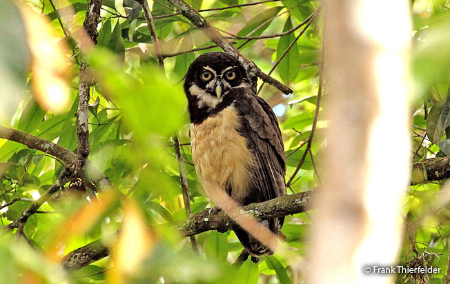 spectacled_owl