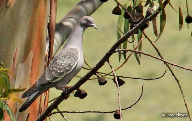 spot-winged_pigeon