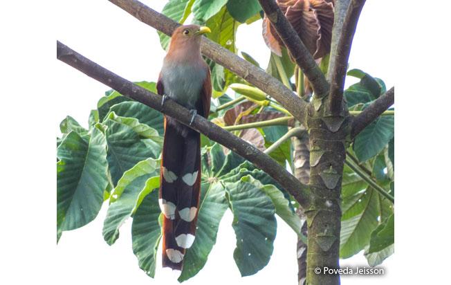 squirrel_cuckoo