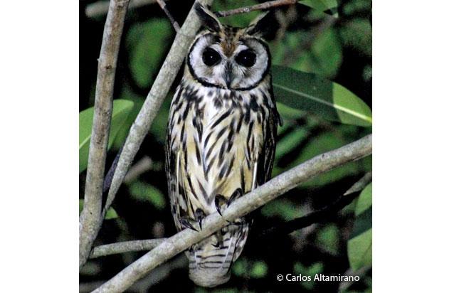 striped-owl