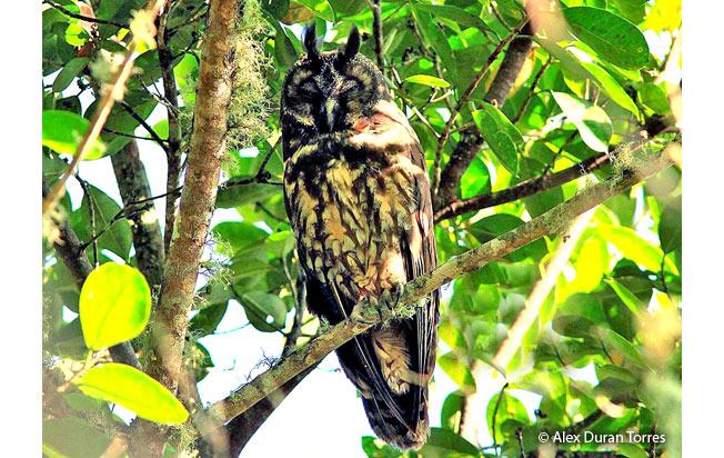 stygian_owl