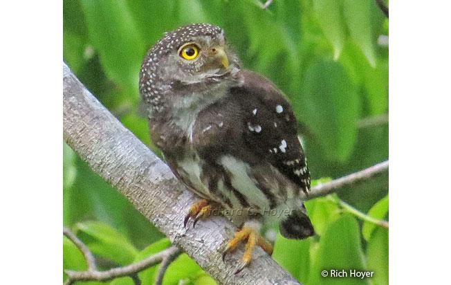 subtropical_pygmy-owl