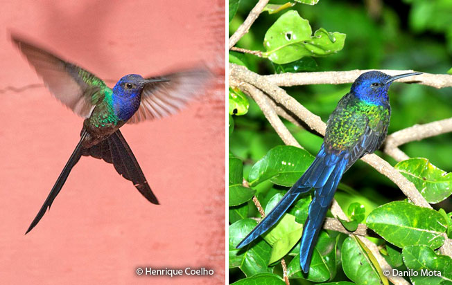 swallow-tailed-hummingbird