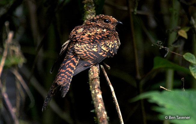 swallow-tailed_nightjar