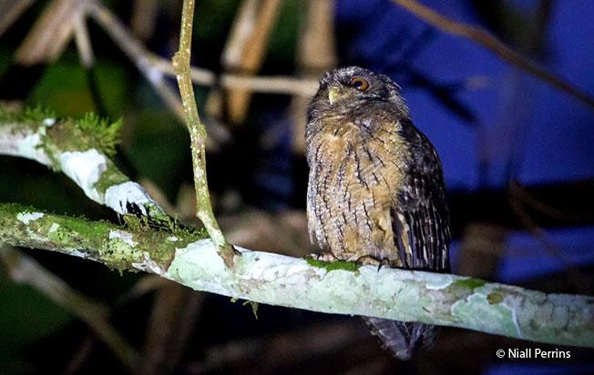 tawny-bellied_screech-owl