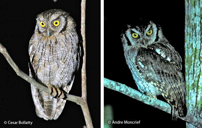 tropical_screech-owl