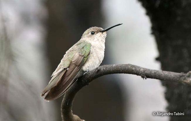 tumbes_hummingbird