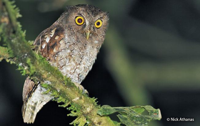 vermiculated_screech-owl