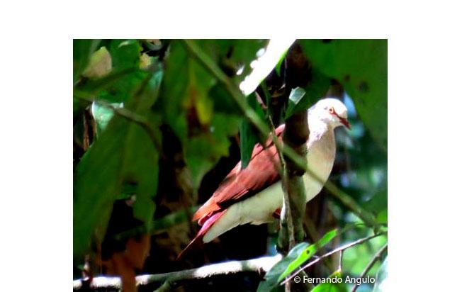 violaceous_quail-dove