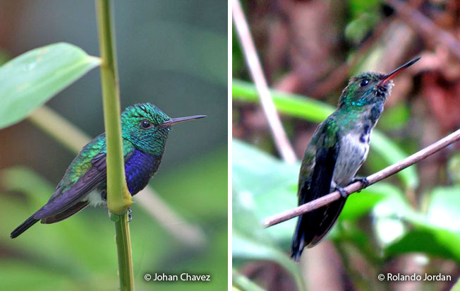 violet-bellied_hummingbird