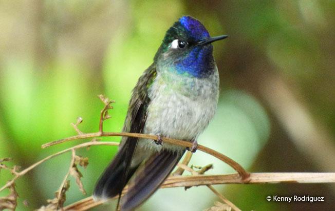 violet-headed_hummingbird