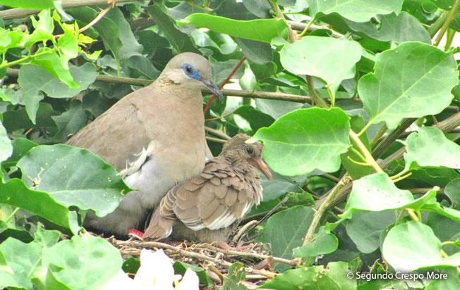 west_peruvian_dove