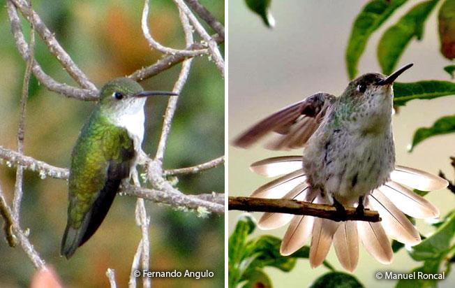 white-bellied-hummingbird