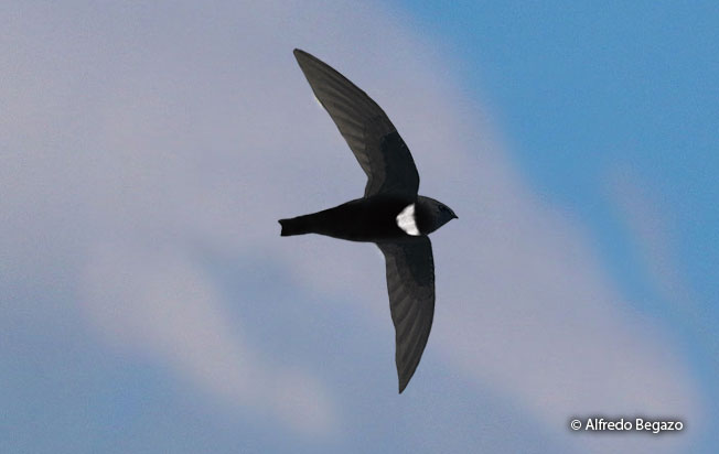white-chested_swift