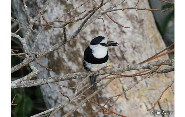 white-necked-puffbird