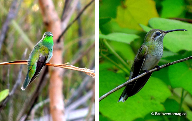white-tailed_goldenthroat