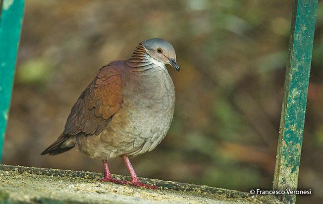 white-throated_quail-dove
