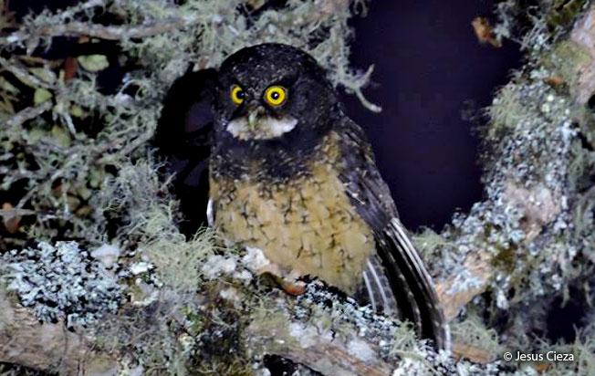 white-throated_screech-owl