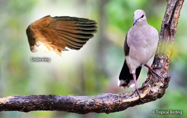 white-tipped_dove