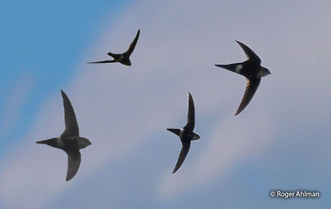 white-tipped_swift