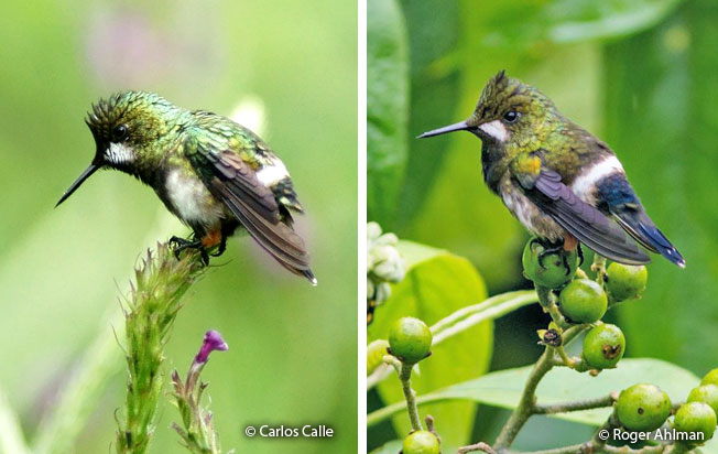 wire-crested_thorntail