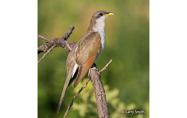 yellow-billed_cuckoo