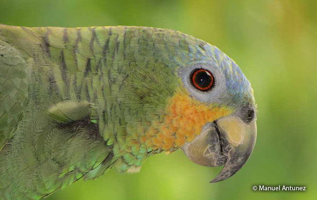 Orange-winged_parrot
