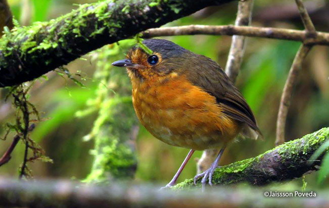 Slate-crowned-Antpitta