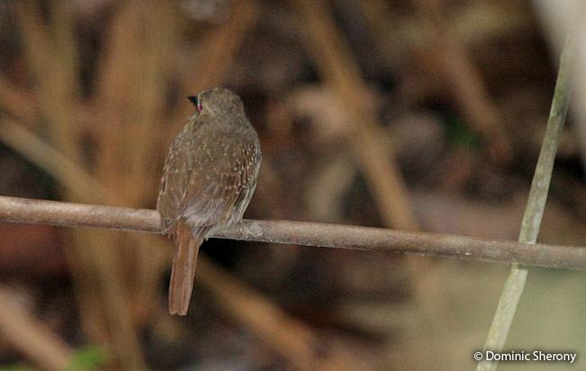 White-whiskered-puffbird