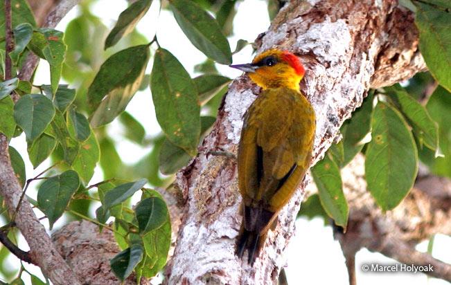 Yellow-throated-woodpecker
