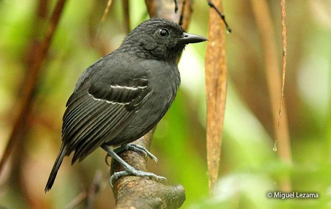 allpahuayo_antbird